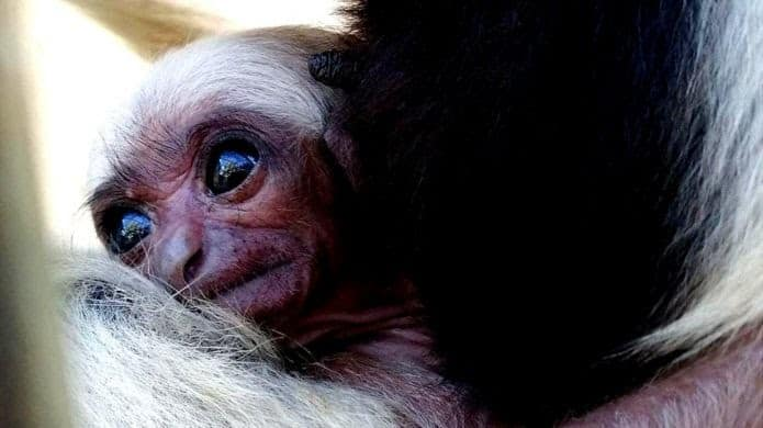 Blackpool Zoo welcomes birth of endangered pileated gibbon
