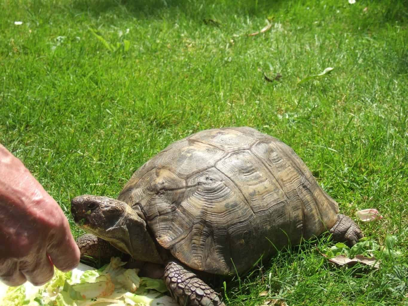 Urgent Appeal: Missing Tortoise from Fairhaven